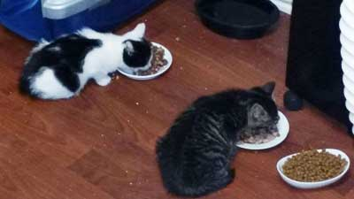 3 Chatons A Adopter Sur Poissy 78