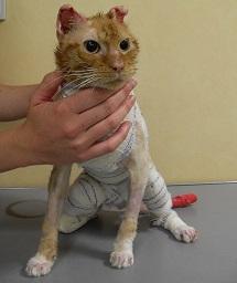 Gainsbourg : Chat mâle type européen roux et blanc de 12 mois / Brûlé sur un grande partie du corps