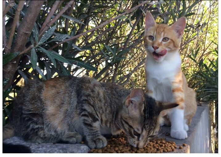 L'Australie veut éliminer 2 millions de chats errants ... Que faire ?