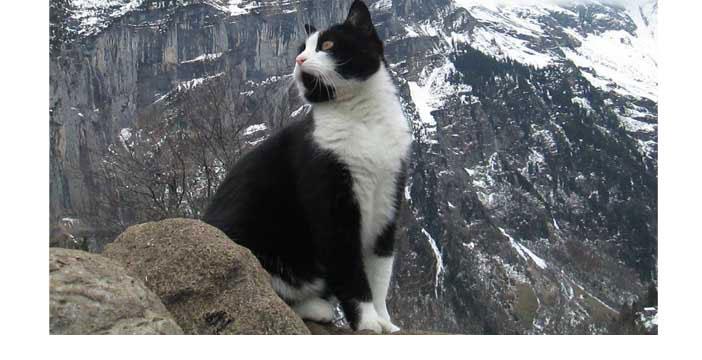 Un chat Saint-Bernard sauve un randonneur blessé.