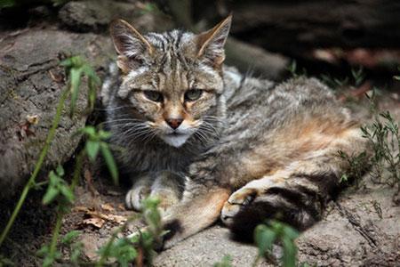 En Australie, deux millions de chats sauvages doivent être abattus…