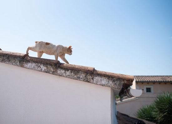Emoi pour une chatte sur un toit à Vire en Normandie.