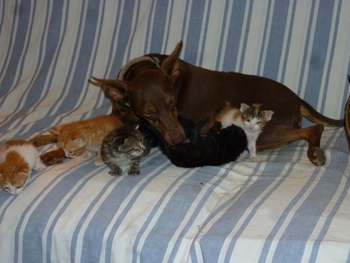 Une chienne élève 5 chatons et un chiot