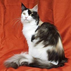 Les 10 races de chats préférées des français à l'heure actuelle