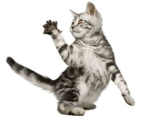 L'ablation des griffes de chat, une mutilation heureusement interdite en France.