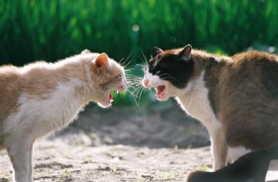 Vidéo : Un nouveau chat arrive parmi vos autres chats : la méthode des présentations réussies.