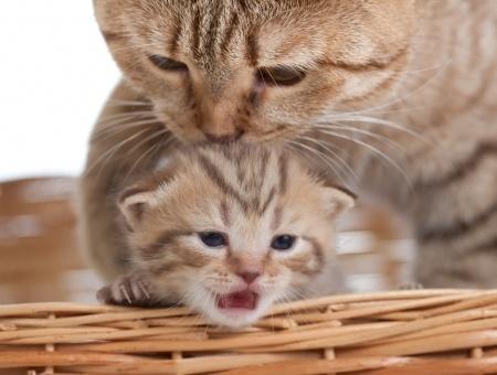 Les ronrons de la mère sont indispensables au bien être du chaton  par Marie-Hélène Bonnet (1) .