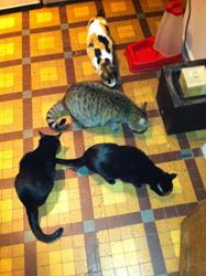 Le chat aime-t-il ses congénères ou préfère-t-il son indépendance et sa tranquillité ?