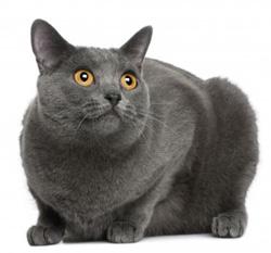 Pacha le chat garde malade de la grand mère de Robert de Laroche