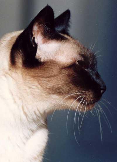 Julie, chatte Siamoise et en transfert.
