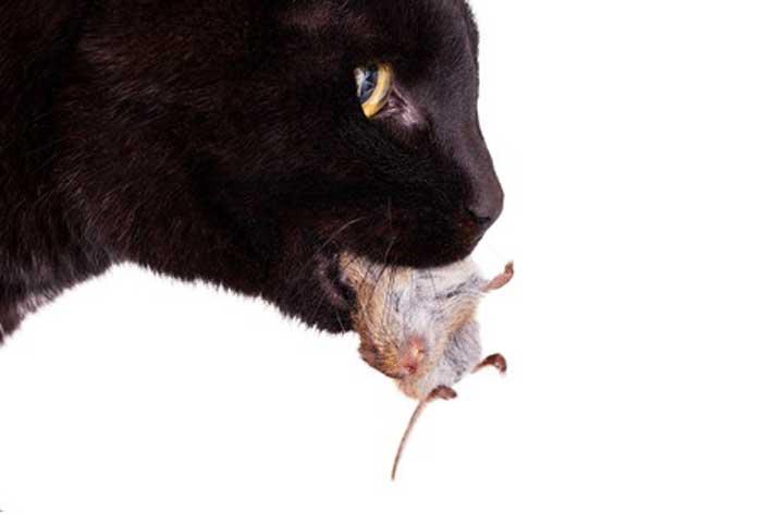 « Le chat récidiviste » des (nouvelles) Lettres Persanes