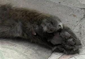 Les chats polydactyles d'Hemingway peuplent toujours son jardin à Key West !