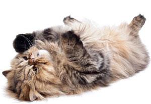 L'origine légendaire du ronron des chats ...