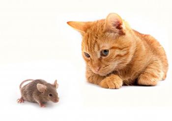 Pourquoi le chat déteste la souris…