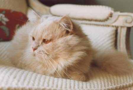 achille chat Achille, un chat blanc et sourd qui vit dans le musée de l'ermitage à saint-petersbourg, a été choisi hier comme pronostiqueur officiel de la coupe du monde de.
