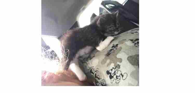 Isabelle propose à l'adoption un petit chaton de 3 semaines.