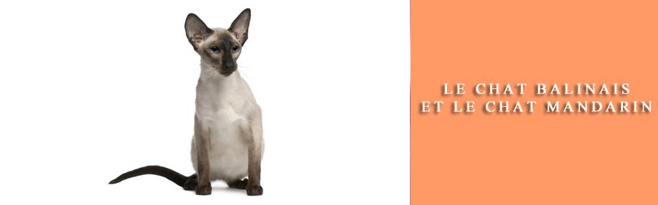 chat Balinais et chat Mandarin
