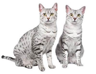 Le Chat Mau Egyptien