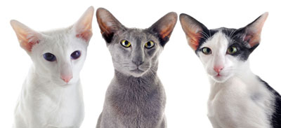 chat Oriental Shorthair