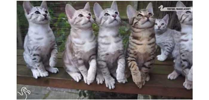 la danse des chats chats chats