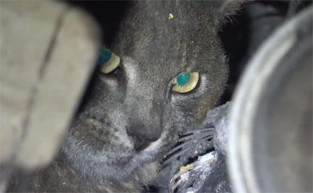 Sauvetage d'un chat rescapé des incendies terribles de Californie.