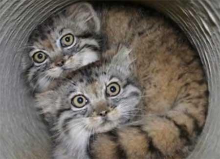 En savoir plus sur le Chat de Pallas (Otocolobus manul) ou Manul et le découvrir en vidéo