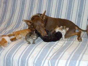 Une chienne exceptionnelle qui aime les chats