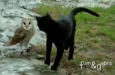 Un chat pote avec la chouette ?  Des vidéos hallucinantes !