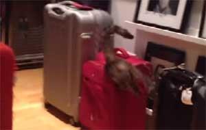 Que c'est drôle un chat et une valise !