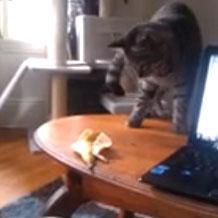 Chat qui a peur d'une peau de banane