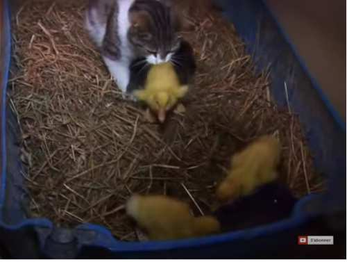 Vidéo d'une maman chat elevant de petits canetons bien indisciplinés