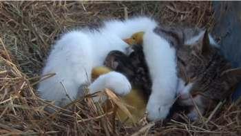 Vidéo ! La  mère aux canards est une chatte !