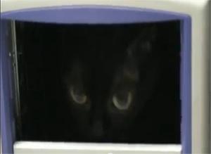 Vanille une chatte Bombay à la recherche du savoir