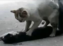 Un chat pleure la mort de son amoureuse